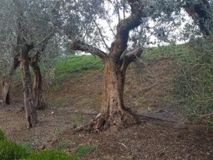 Fig 1 - Fig 1 - piante di ulivo - pt - 8229