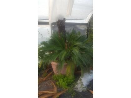 Fig 1 - Fig 1 - pianta chicas - pt - 8134