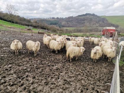 Fig 1 - Fig 2 - Pecore per la produzione del l...