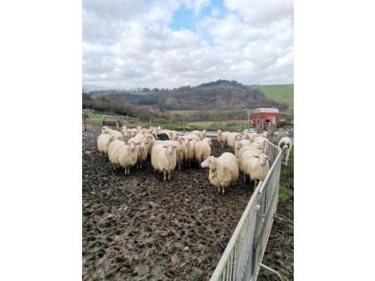 Fig 1 - Fig 3 - Pecore per la produzione del l...