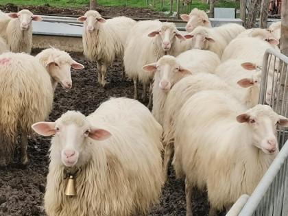 Fig 1 - Fig 1 - Pecore per la produzione del l...